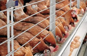 How To Start Poultry Farming Business In Nigeria