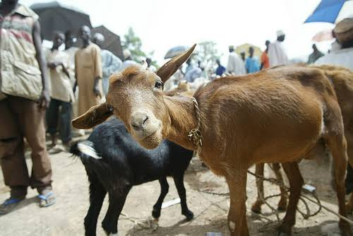 Current Prices Of Goats In Nigeria